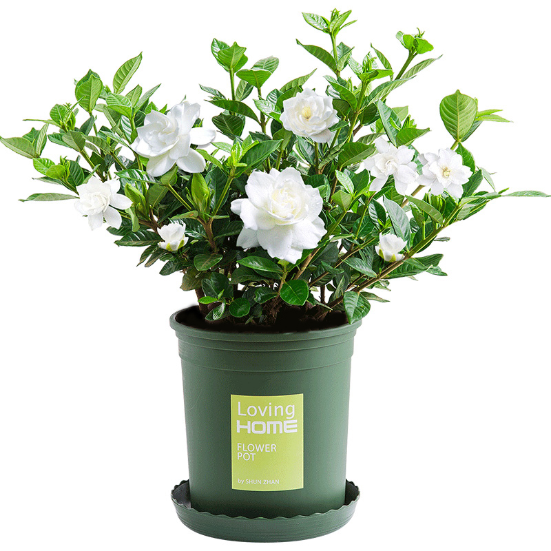 栀子花盆栽带花苞家居四季开花观花植物室内好养的常年开花卉盆栽