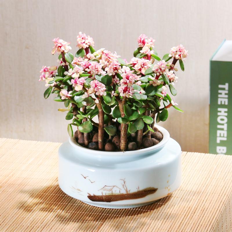 金枝玉叶盆栽多肉植物组合办公室内花卉植