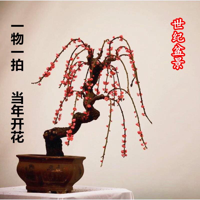 红梅花盆景树桩实物腊梅红梅树苗乌梅绿梅朱砂梅室内盆栽绿植包邮