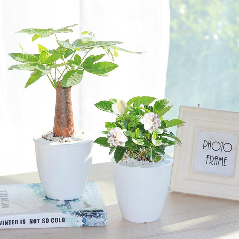 发财树绿萝办公室花芦荟吊兰栀子花文竹室内绿植花卉盆栽水培植物