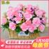 手提花篮生日玫瑰康乃馨成都鲜花速递同城天津北京广州青岛太原