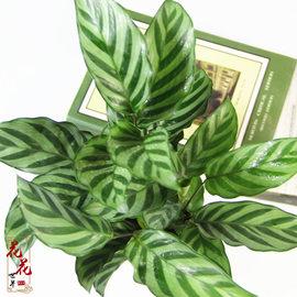 翠叶竹芋花卉桌面盆栽办公室内绿植吸甲醛净化空气防辐射客厅植物