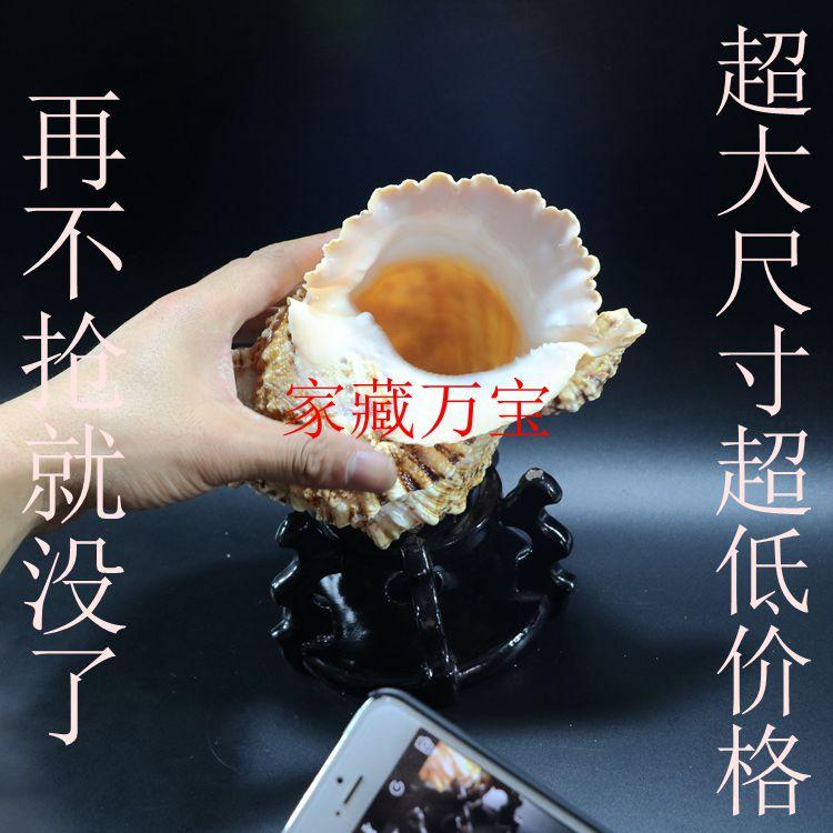 石号螺 金口大蛙螺 天然超大珊瑚海螺贝壳摆件工艺品水族造景