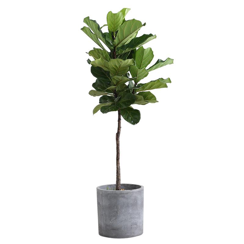 全国琴叶榕盆栽室内绿植大型植物客厅大盆
