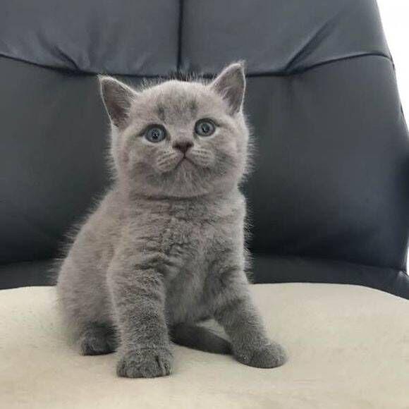 英短折耳蓝猫美短蓝白加菲布偶金银渐层幼崽小猫活体宠物猫咪活物