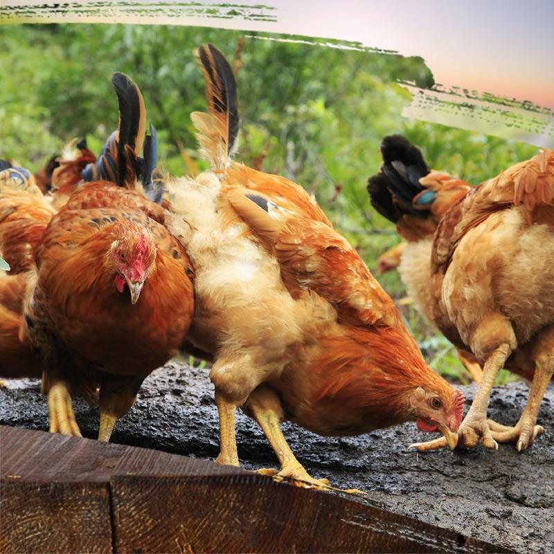 二只散养土鸡母鸡童子鸡生态放养顺丰包邮新鲜土鸡现杀