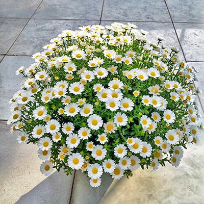 花种子易爆盆小雏菊种子四季开花易活盆栽苗太阳花室内外阳台庭院