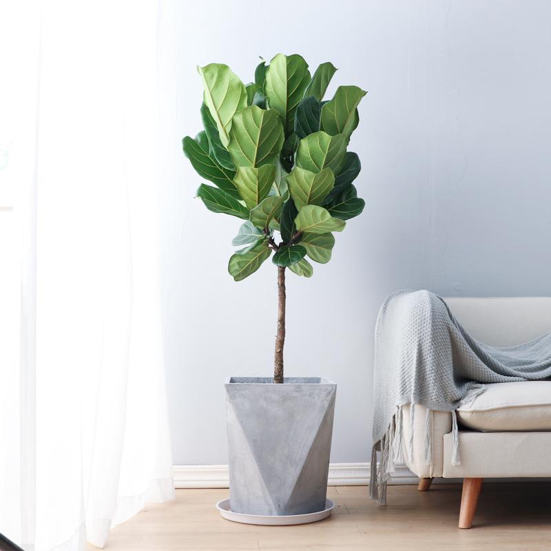 富贵叶琴叶榕盆栽室内客厅大叶北欧真绿植