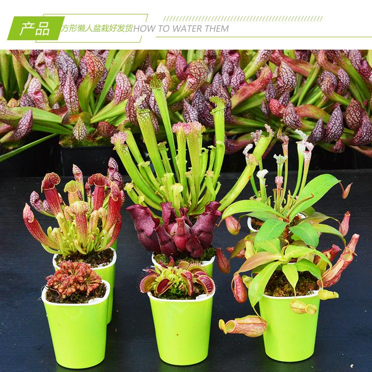 【方形懒人盆种好发货】食虫植物捕蝇草猪笼草
