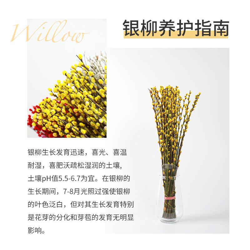 【二十支装】招财银柳客厅室内真花干花装