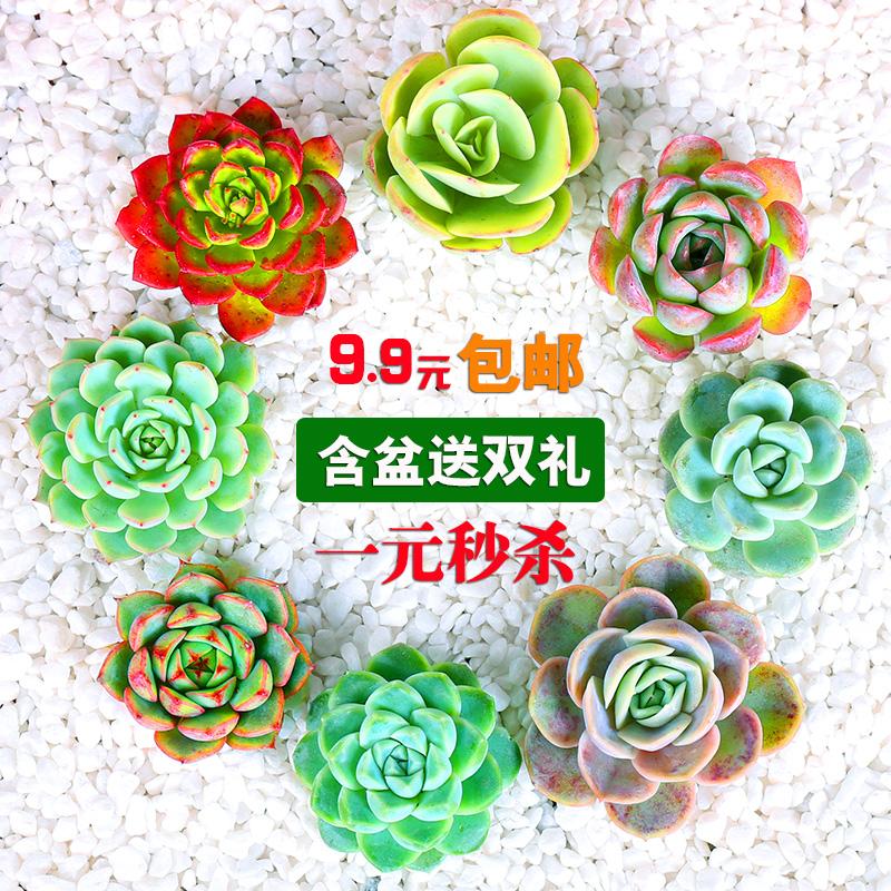 新款多肉植物组合盆栽包邮 超萌多肉 肉老桩室内绿植花卉含盆送土