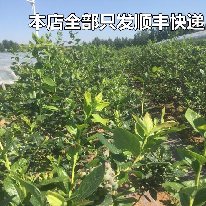 蓝莓鲜果 青岛露天蓝莓新鲜水果现摘现发孕妇宝宝辅食500g