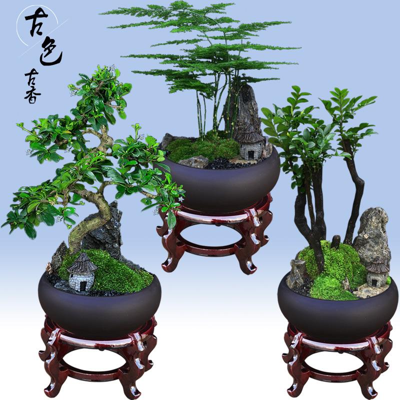 文竹盆栽植物室内好养花卉办公室绿植小叶紫檀黄杨罗汉松树桩盆景