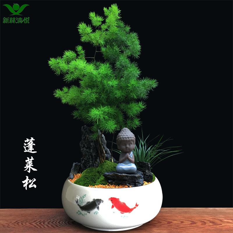 蓬莱松盆栽吸甲醛盆景客厅净化空气禅意绿植办公室内植物四季常青