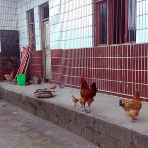 重庆梁平土鸡蛋农家散养自养无菌正大鸡蛋生吃熟吃食生草鸡蛋30枚