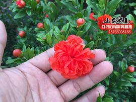 重瓣双花月季石榴翠叶树苗四季盆景栽庭院植物绿化室内卉客厅阳台