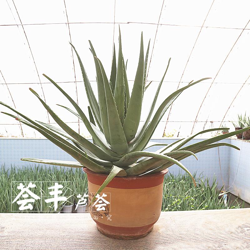 美国库拉索芦荟盆栽植物美容院专用灌肤新鲜苗纳豆奶芦荟植物盆栽