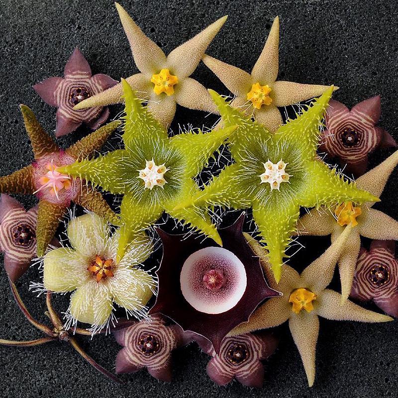 植物员外 萝藦科阿修罗毛茸角大花犀角波斯地毯多肉植物组合盆栽