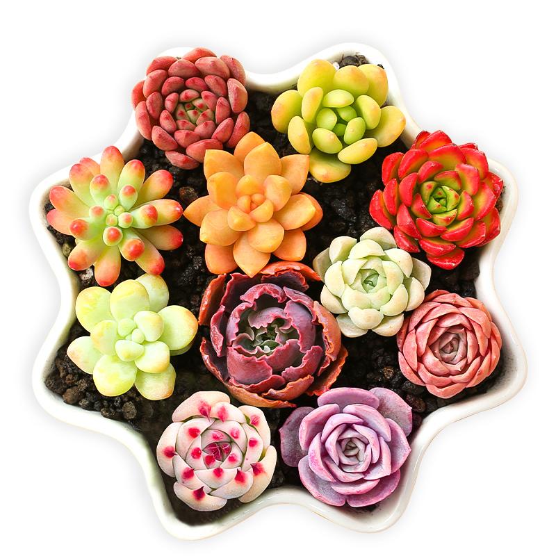 多肉植物新手套餐肉肉植物多肉组合绿植盆栽花卉含多肉花盆包邮
