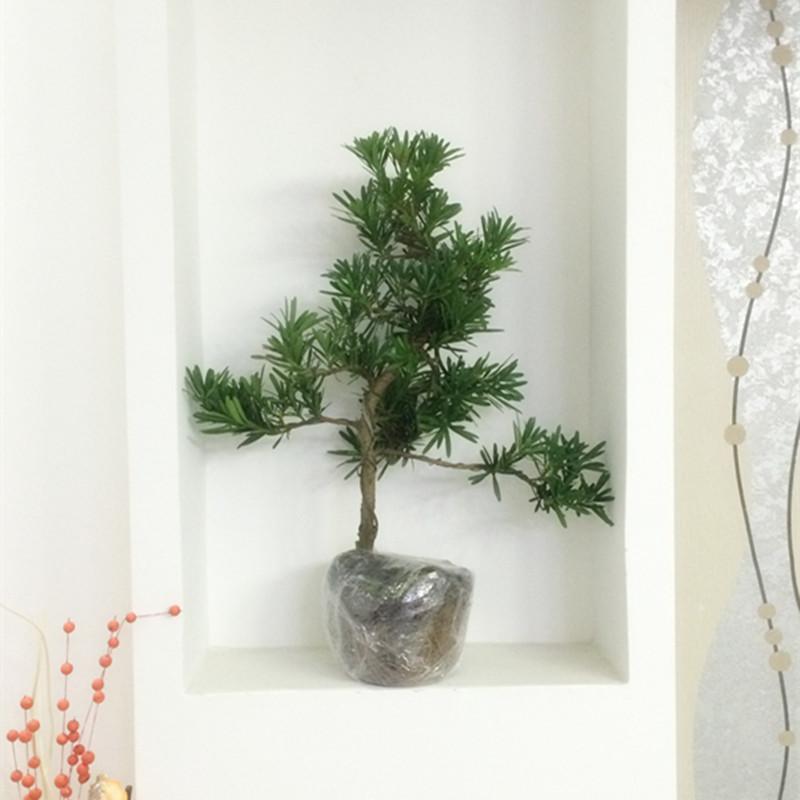 罗汉松盆景树桩花卉桌面盆栽绿植办公室造型松树微型盆景景观