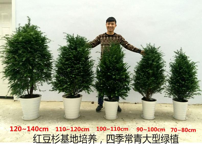正宗南方红豆杉树苗果子曼地亚办公室内盆景盆栽发财树大型绿植物