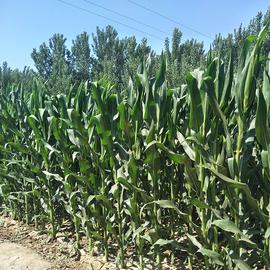 现货农家笨玉米棒 新鲜玉米棒 自种老玉米棒苞米 现掰现发5斤包邮