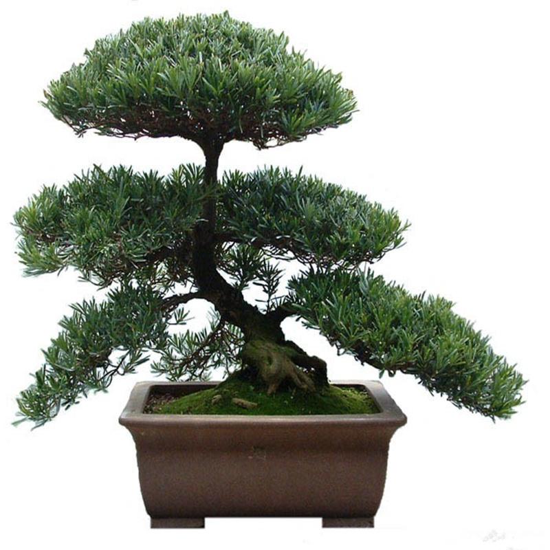 罗汉松盆景树桩 榆树盆栽庭院绿植办公室黄杨造型松树微型景观