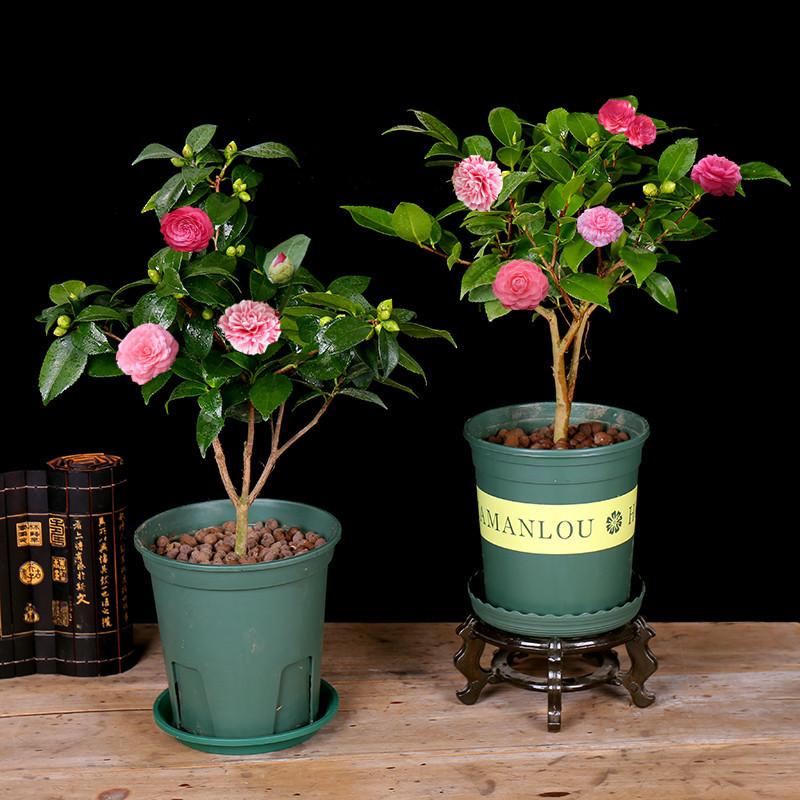 山茶花树苗盆栽带花苞花卉观花植物室内好养四季开花不断五色赤丹