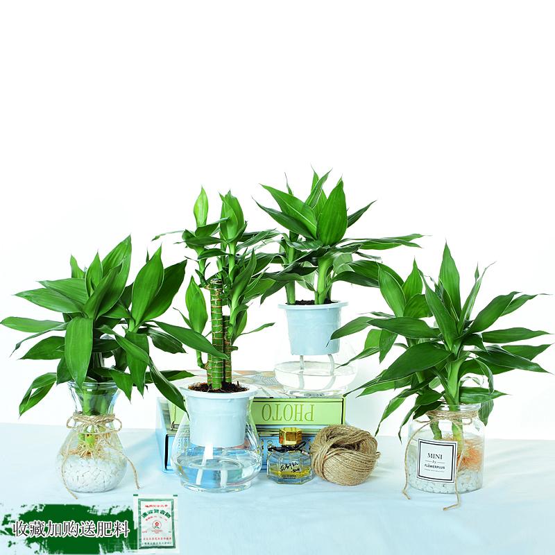 富贵竹水培植物观音竹步步高绿植绿萝盆栽