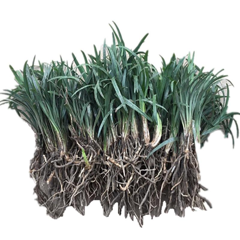 矮麦冬草苗四季常青耐寒日本玉龙草高档地被植物庭院别墅草坪草