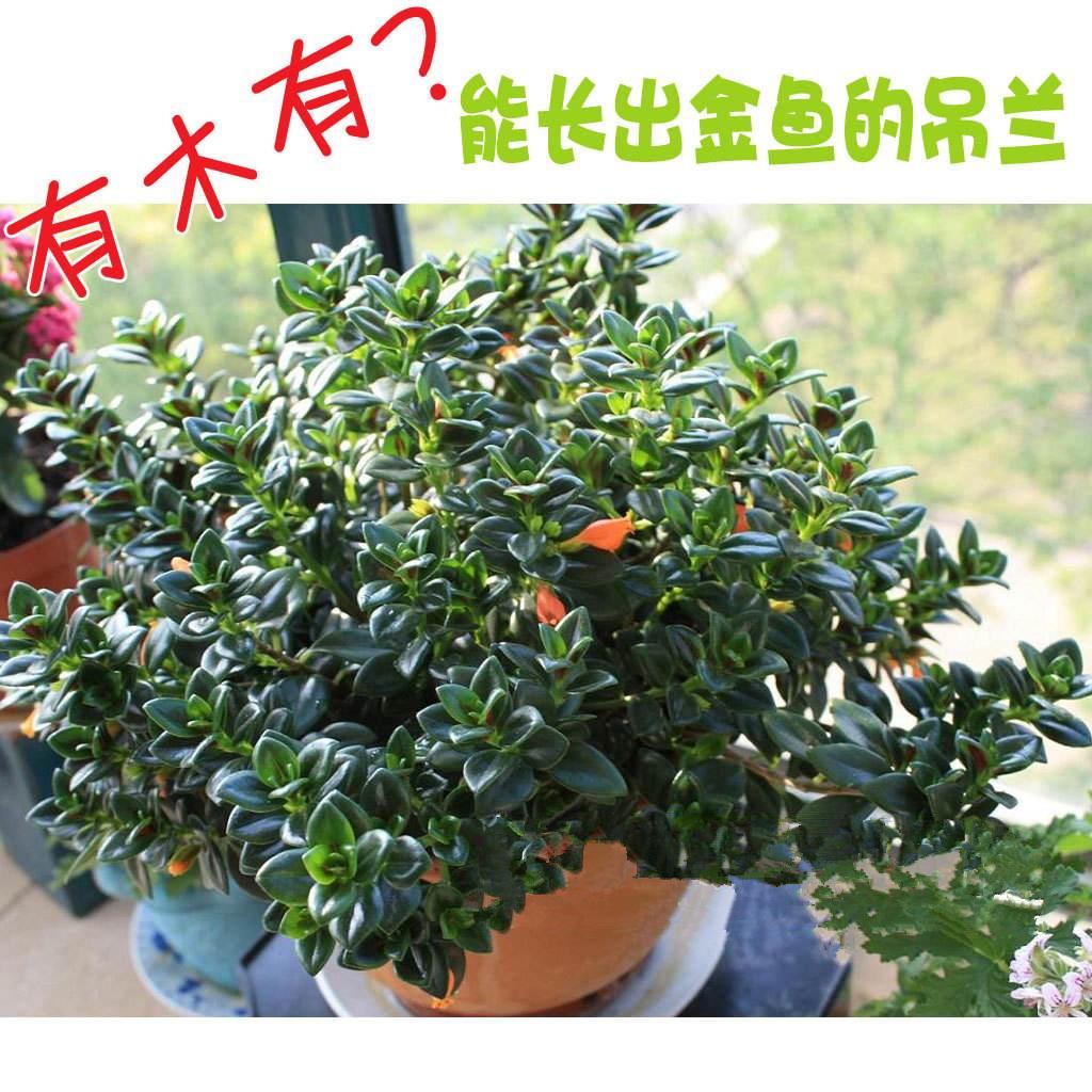 金鱼花盆栽新品吊兰植物室内阳台办公桌面花卉绿植净化空气吸甲醛
