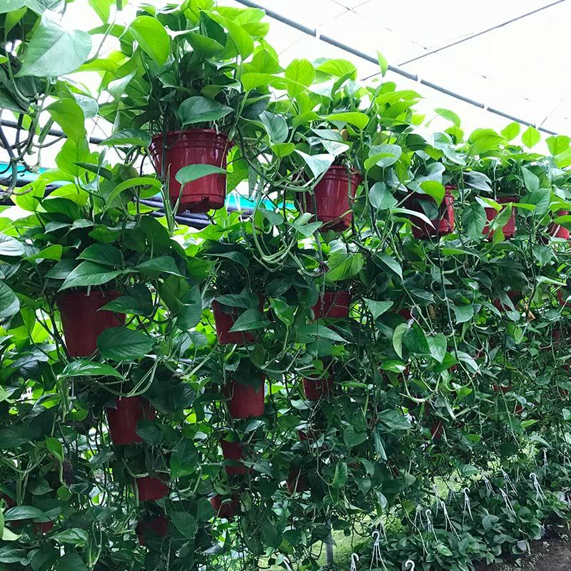 绿植绿萝盆栽室内长藤水培植物吊兰垂吊吸甲醛绿箩花净化空气大盆