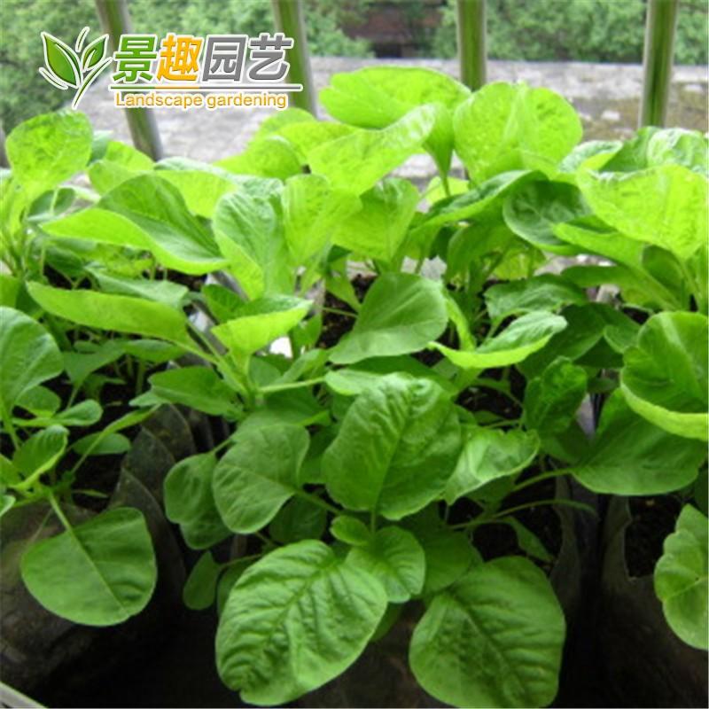 厂家原厂封包苋菜种子 圆叶苋菜种子 青苋菜种子 红苋菜