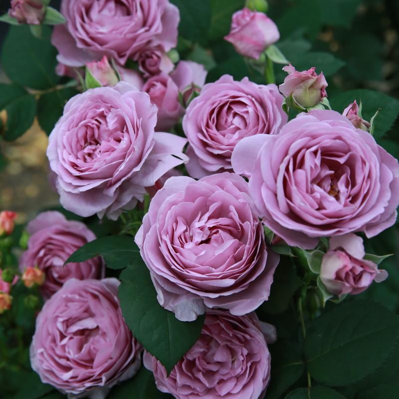 天狼月季经典植物大花灌木庭院四季开花绿植盆栽花卉月季玫瑰花苗