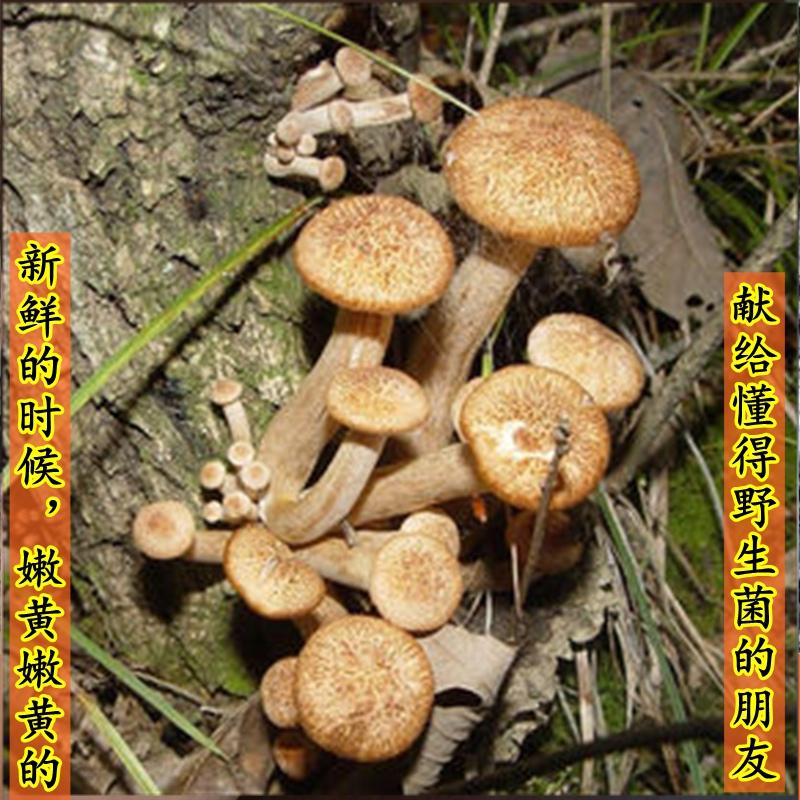 野外生茶树菇青冈2020干货非四川青杠河南西峡礼盒特产250g树秋菌高清大图