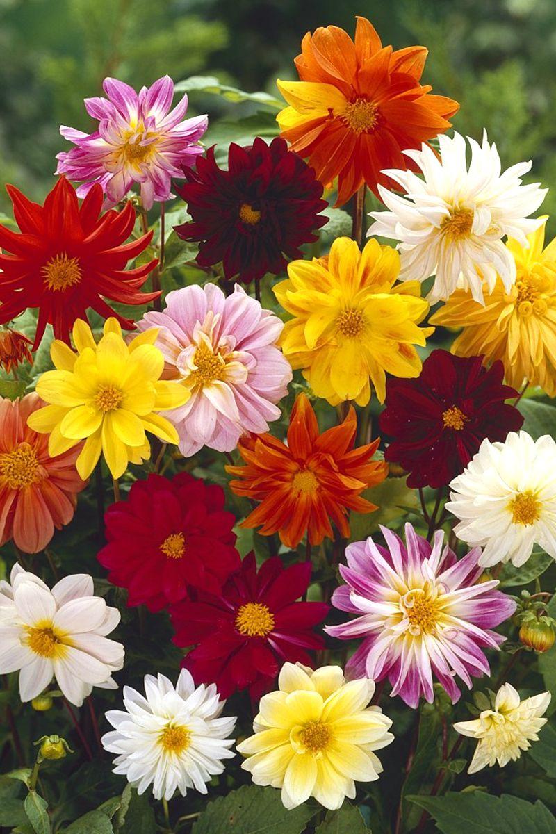易活花种大丽花种子重瓣混色大丽菊地瓜花多年生大理花四