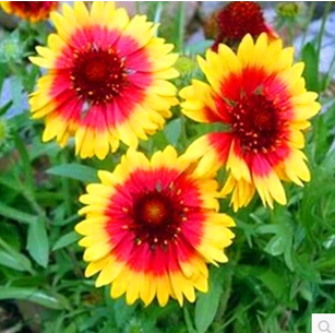 Buy Gaillardia Potted Patio Balcony Flower Color Package Vanilla Plant Chrysanthemum Of About 30 Capsules In Cheap Price On Malibaba