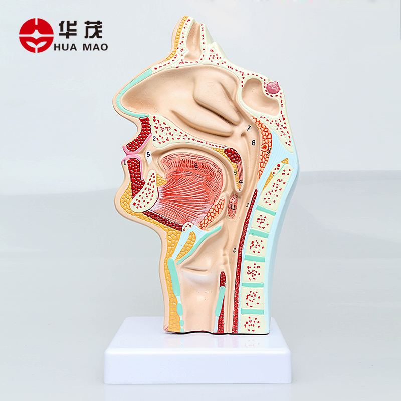 Buy Huamao Science Throat Lung Respiratory Anatomical Model