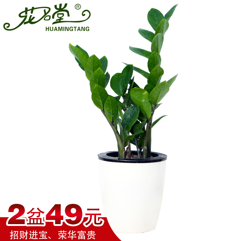 Buy Money tree money tree potted flowers potted indoor plants ...