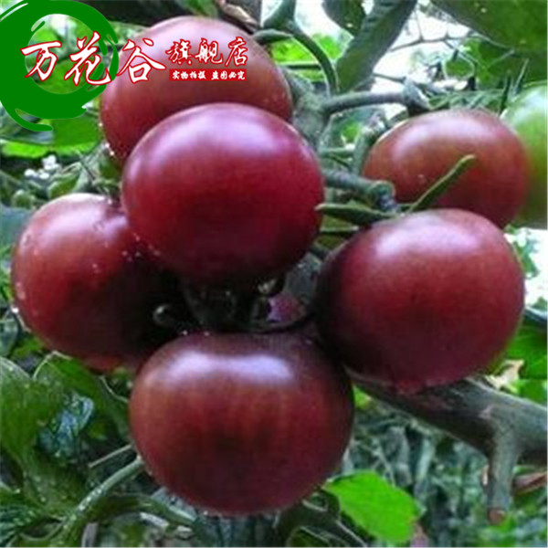 Buy [Purple] Small Tomato Fruit Tomato Cherry Tomatoes Balcony Patio Roof  Terrace Kinds Of Vegetable Planting Potted Plants In Cheap Price On  M.alibaba.com