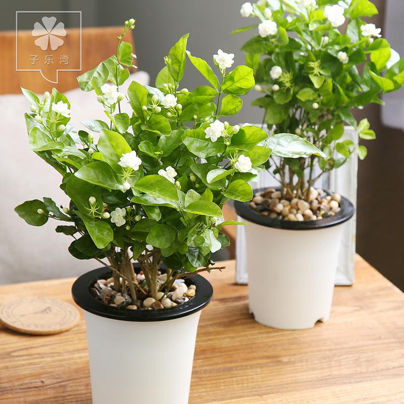 Tsz Lok Bay Jasmine Flower Seedlings Indoor Potted Flowers Flowering Plants Seasons Bonsai In Price On M Alibaba