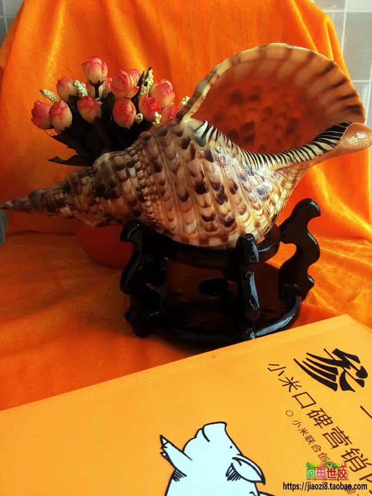 精选凤尾螺大法螺万宝螺天然超大海螺法器海南四大名螺工艺品摆件