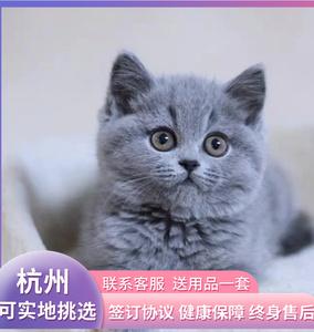 纯种英短蓝猫幼猫折耳猫英国短毛猫矮脚小猫活物幼崽活体宠物猫咪