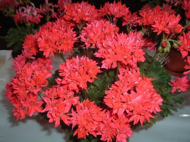 热卖花艺小铺 枫叶 天竺葵 卡洛琳 重瓣 花苗 天竺葵苗推荐图片