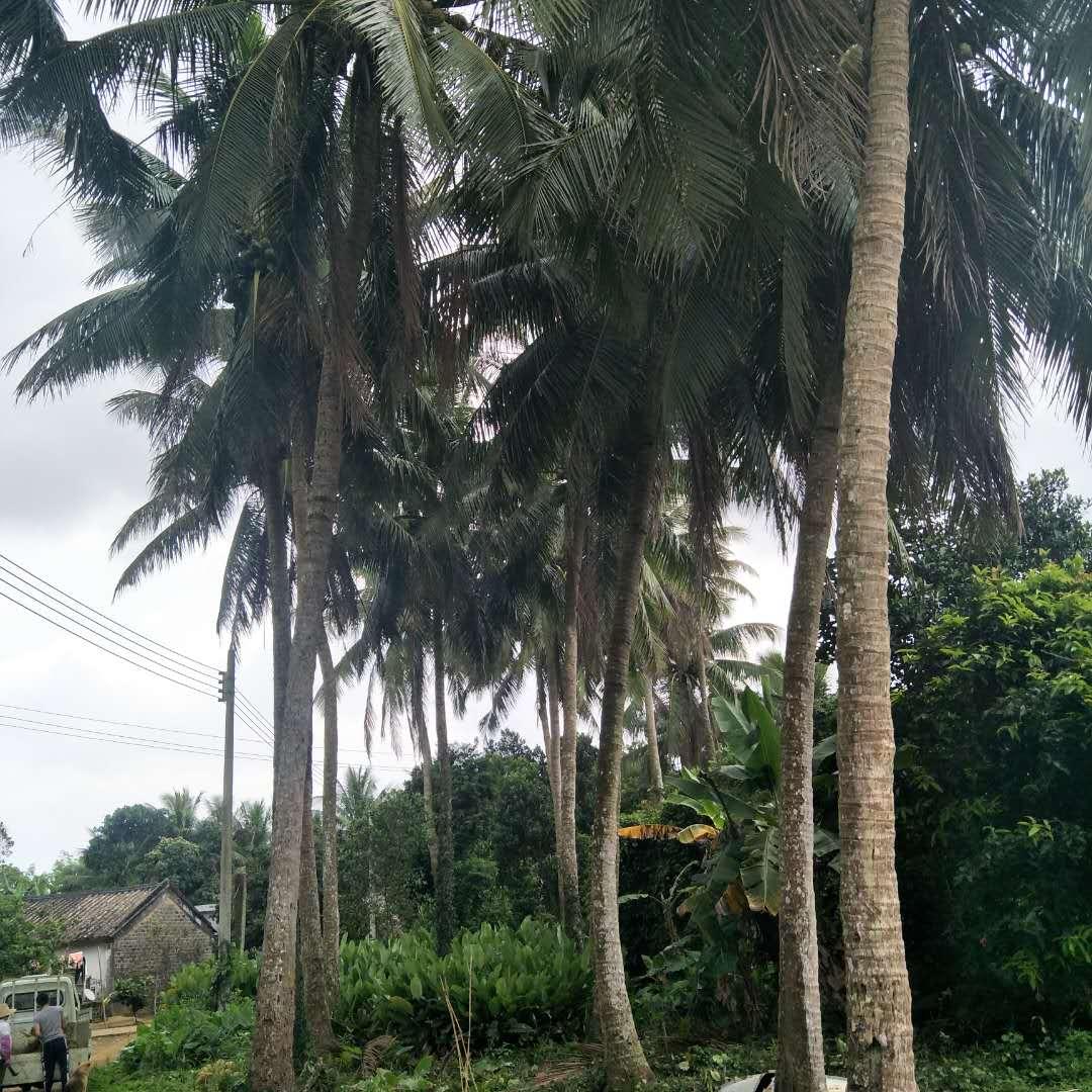 热卖椰子新鲜特价水果免邮海南椰皇椰王去皮原产地现摘5个非泰国椰子