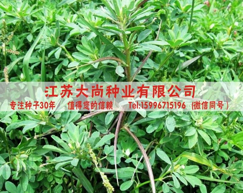 色色射����_热卖中药材种子批发 葫芦巴种子芦巴子 下乳 苦豆种子 香草籽 妈妈茶