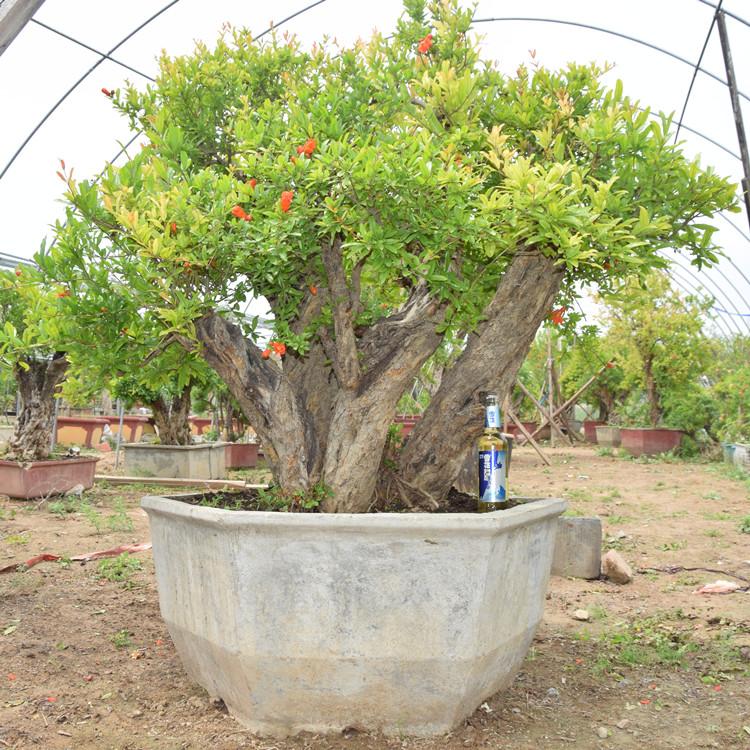 包邮 石榴老桩盆景 大型石榴树盆景 石榴树 a16089