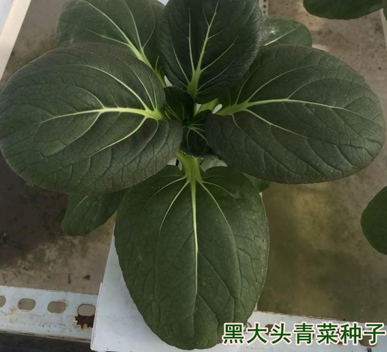 黑大头青菜种子 油菜种子 蔬菜种子 口感好黑菜种子图片