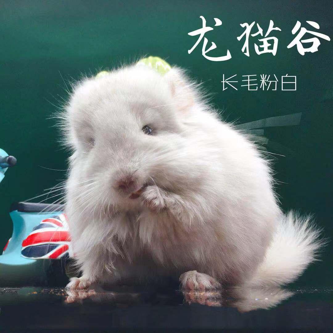 成都龙猫实体店长毛标灰米色粉白普通六千 精品8690元 收藏级1万