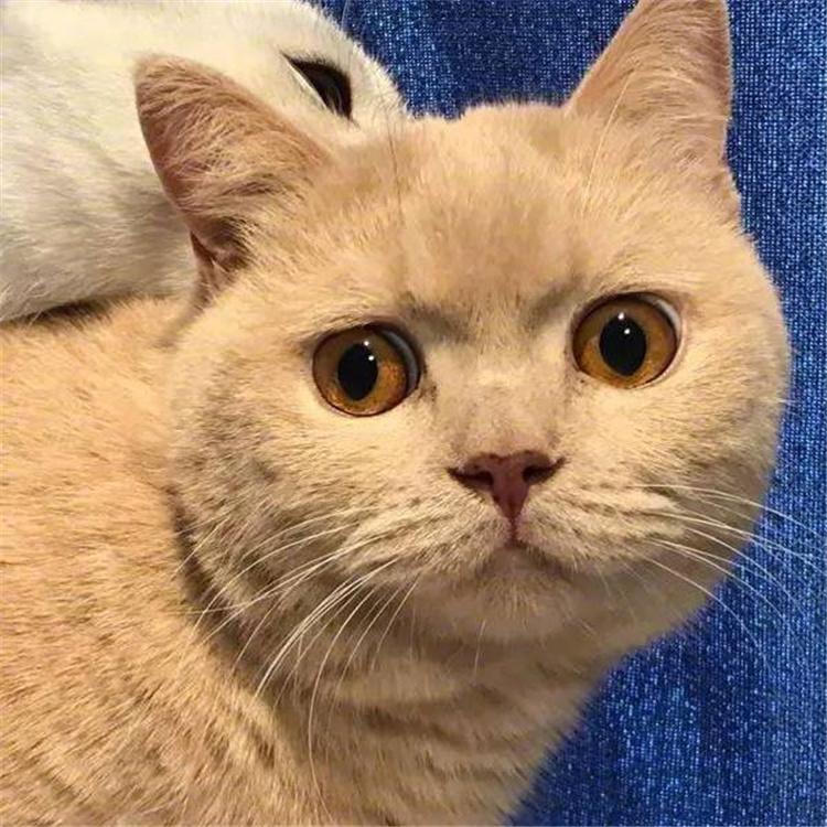英国短毛猫活体幼猫 蓝猫 英短猫蓝白 乳色 纯白 银点 渐层宠物猫